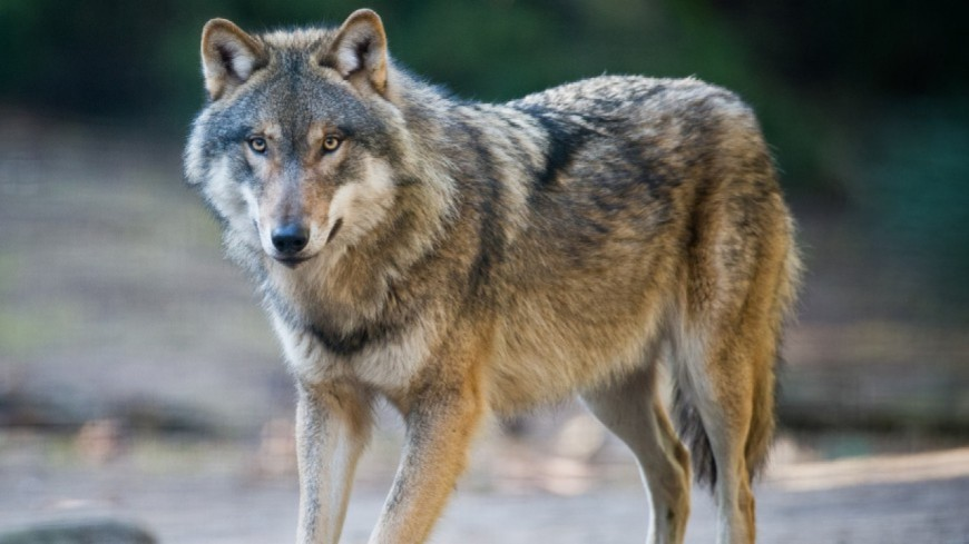 Hautes-Alpes : une louve abattue cette nuit sur la commune d'Ancelle, au lieu-dit Le Collet