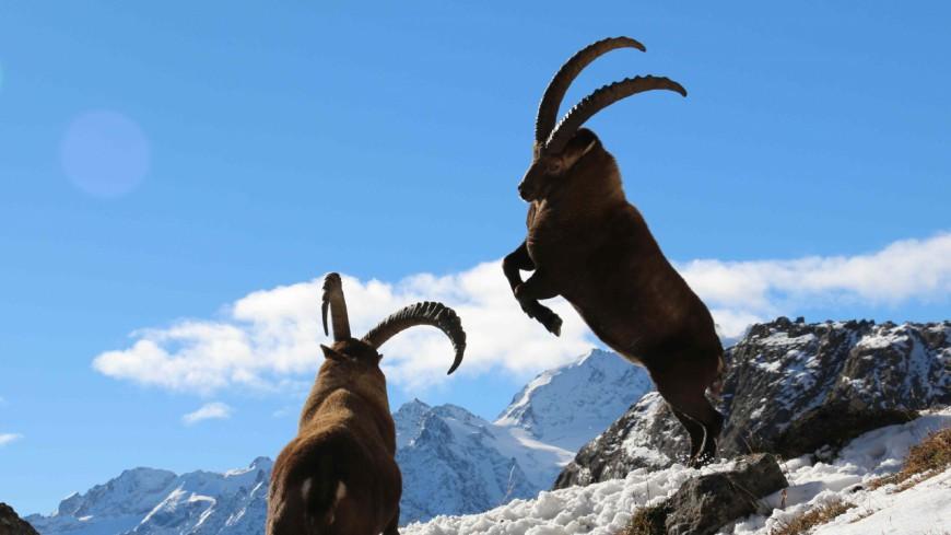 Hautes-Alpes : quelle est la situation sanitaire des bouquetins dans les Ecrins ?