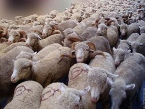 Des brebis sur le rond-point de l'Europe à Gap pour sauver l'élevage