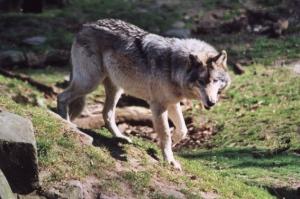 Hautes-Alpes : la Confédération Paysanne critique le Plan National Loup
