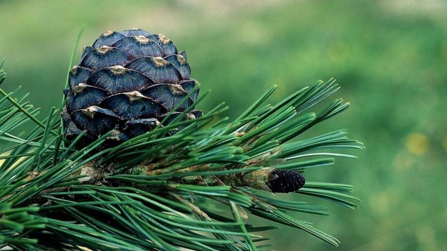 Hautes-Alpes : 3.000 pins cembro plantés dans la réserve des Partias