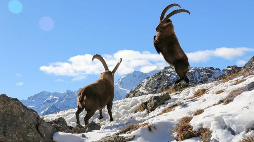 Alpes du Sud : le Bouquetin des Alpes suivi de près
