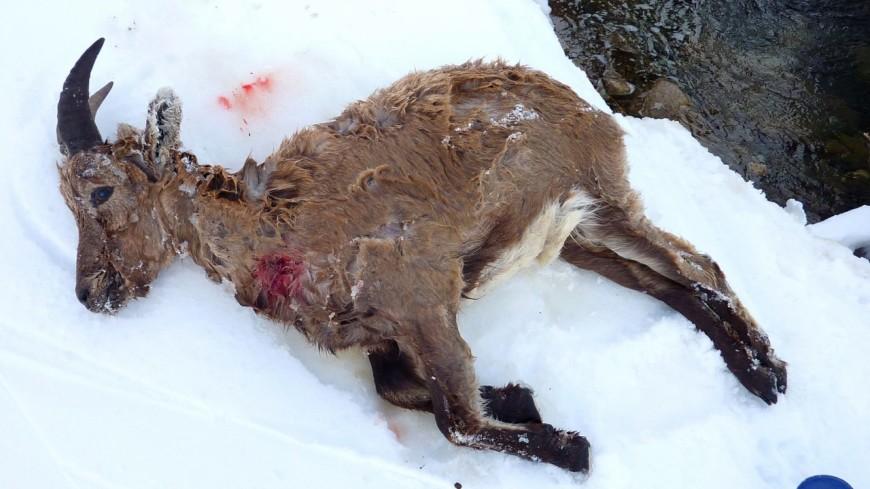 Hautes-Alpes : un bouquetin tué par des chiens en divagation dans le Briançonnais