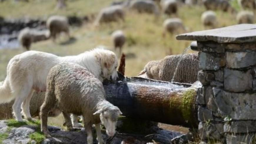 Hautes-Alpes : une cohabitation possible avec les chiens de protection ?