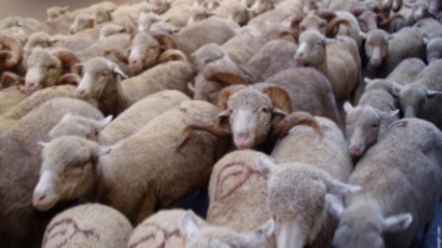 Hautes-Alpes:  attaques de loup, la Coordination Rurale se dit inquiète du stress provoqué sur les animaux