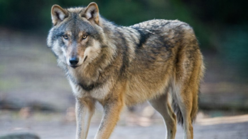 Alpes du Sud : tirs de loups,  plusieurs associations  déposent un recours auprès du Conseil d'État
