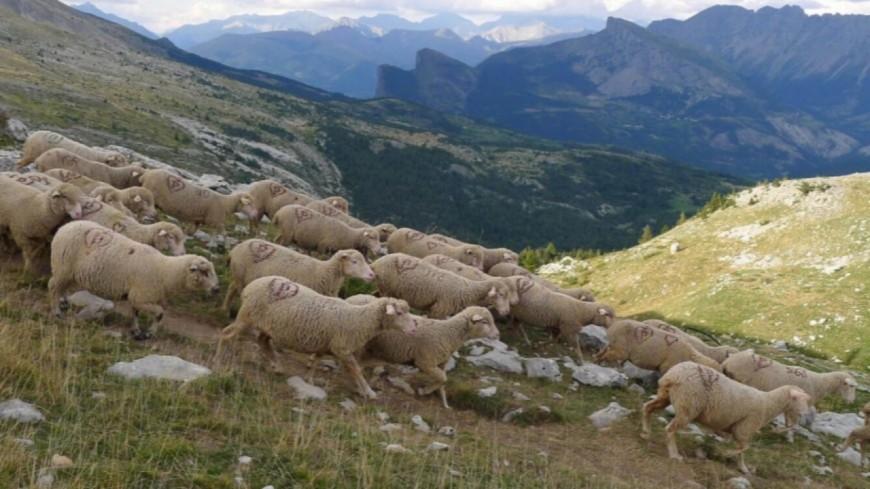 Hautes-Alpes : 97 brebis retrouvées mortes au pied d'une falaise dans le Valgaudemard