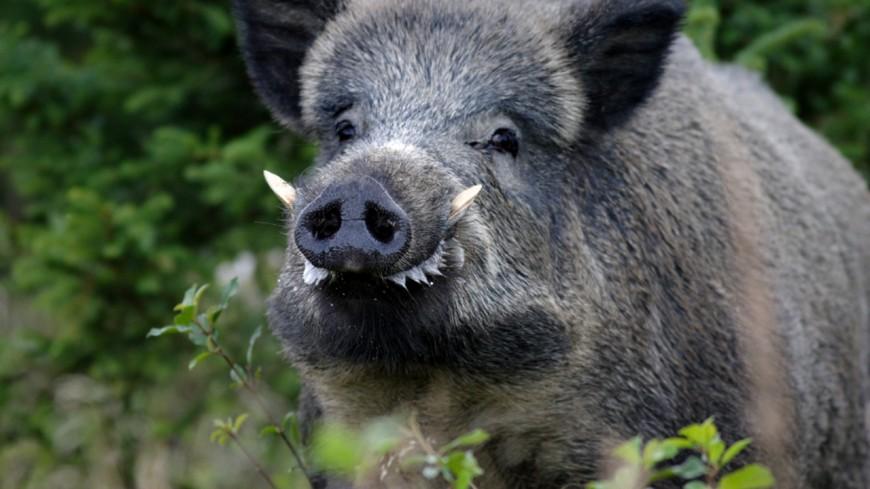 Hautes-Alpes : la Confédération paysanne veut classer le sanglier en nuisible toute l'année