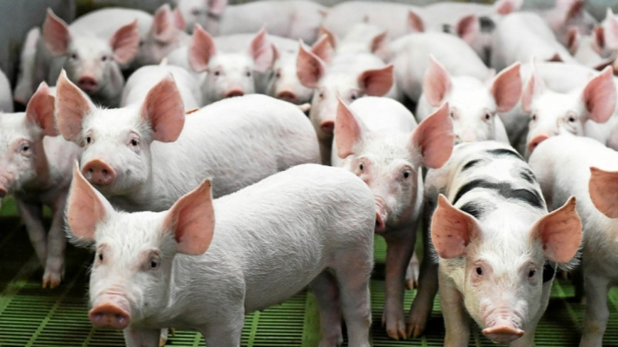 Hautes-Alpes : ferme aux 1072 porcs, une pétition lancée par la SAPN
