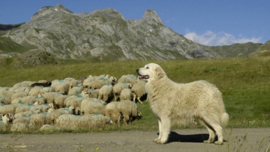 Hautes-Alpes : chiens de protection, 20 préconisations