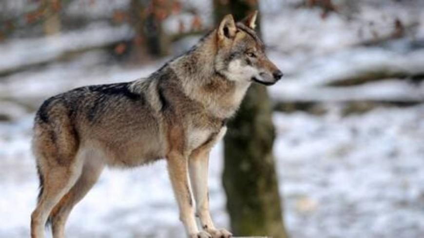 Hautes-Alpes : queue de loup, un cadeau « honteux »