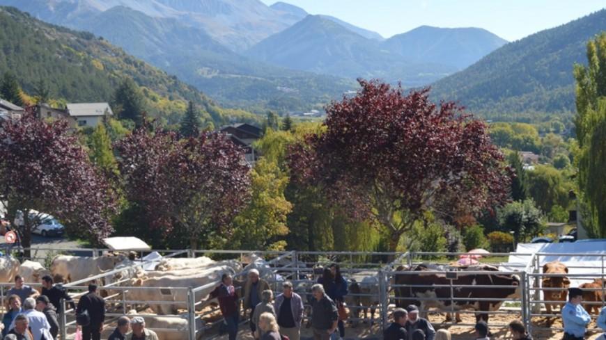 Alpes de Haute-Provence : foire de bovins à Seyne les Alpes