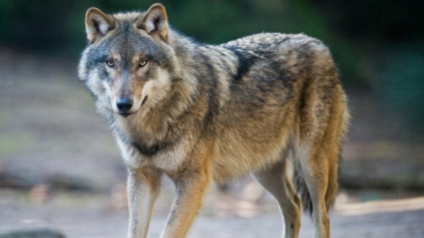 Alpes du Sud : loup, une dégradation de la dynamique de la population