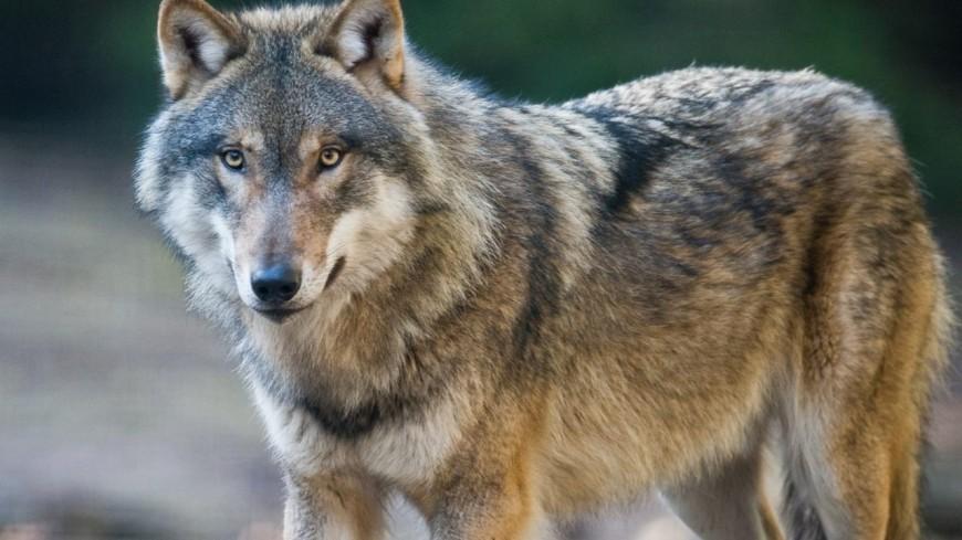 Hautes-Alpes : un tête-à-tête avec les loups
