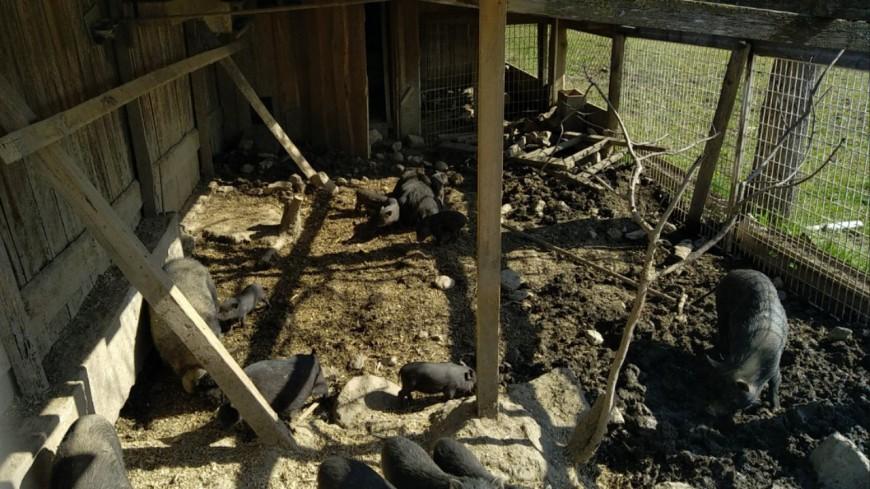 Hautes-Alpes : un élevage illicite de sangliers découvert dans le Gapençais