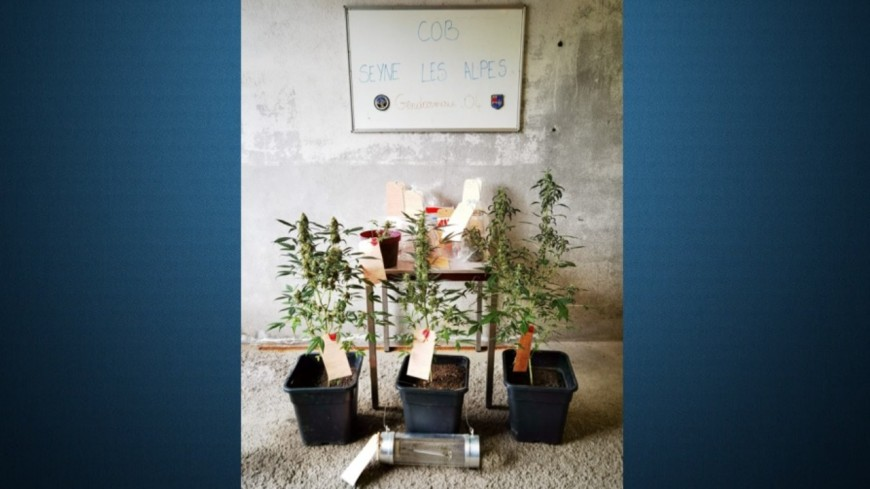 Haute-Provence : ils lui amènent sa convocation judiciaire et tombent sur des plants de cannabis