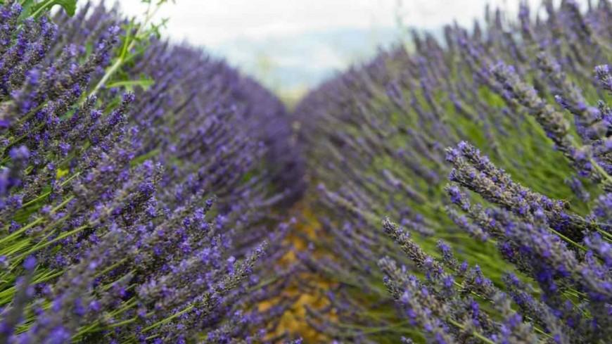 Alpes de Haute-Provence : l'Europe fait trembler la filière lavandicole