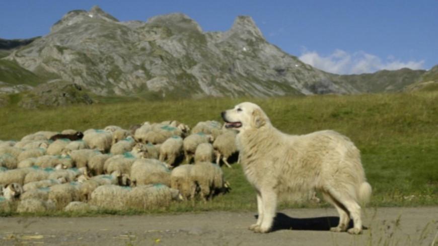 Hautes-Alpes : vers un statut particulier pour les chiens de protection ?