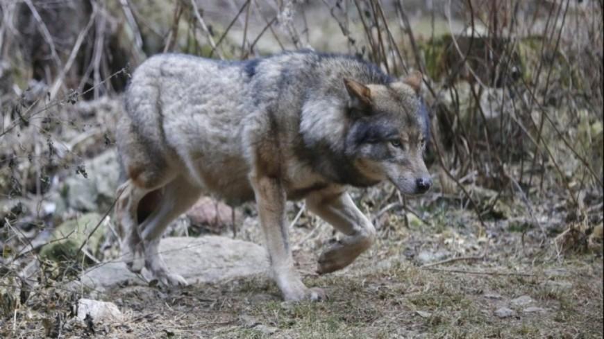 Hautes-Alpes : deux loups pourront être tués en l'espace d'un mois
