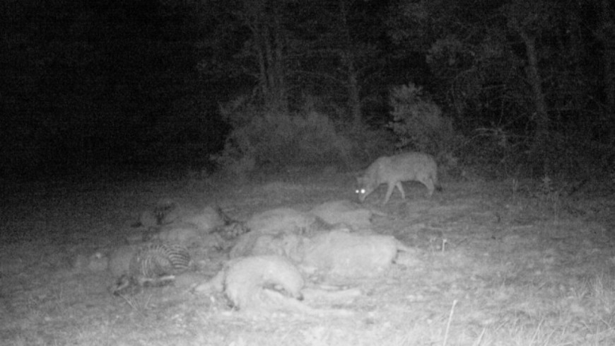 Hautes-Alpes : loup, des clarifications réglementaires attendues pour l'utilisation des lunettes de tir à visée nocturne