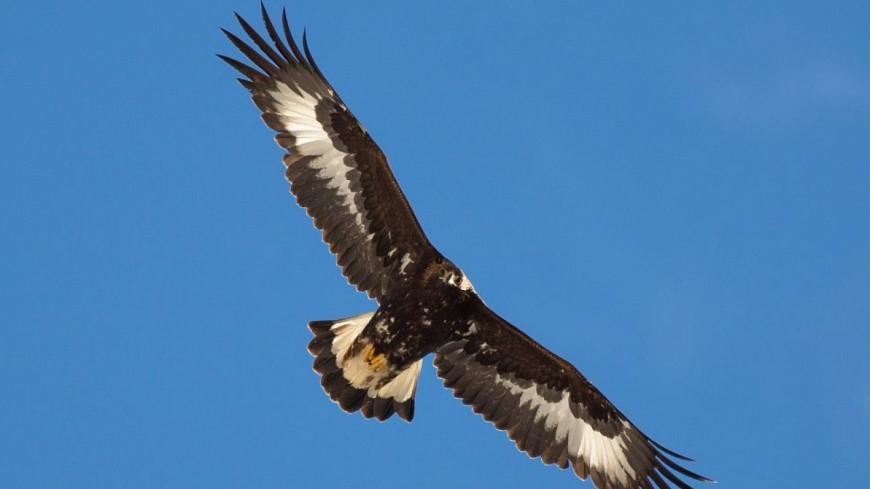 Complet Hautes-Alpes : un aigle royal relâché ce vendredi CX82