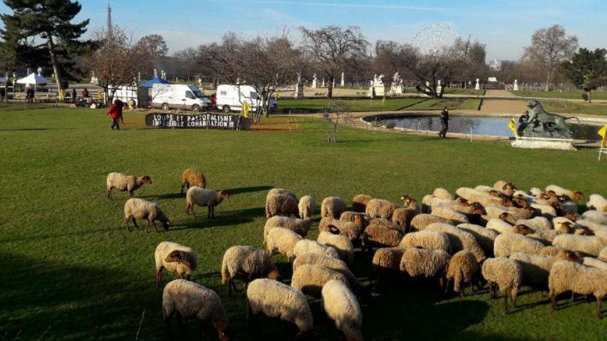 Alpes du Sud : des brebis au jardin des Tuileries de Paris pour sensibiliser face à la problématique du loup