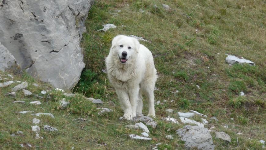 Hautes-Alpes : une enquête sur les chiens de protection diffusée auprès de tous les éleveurs