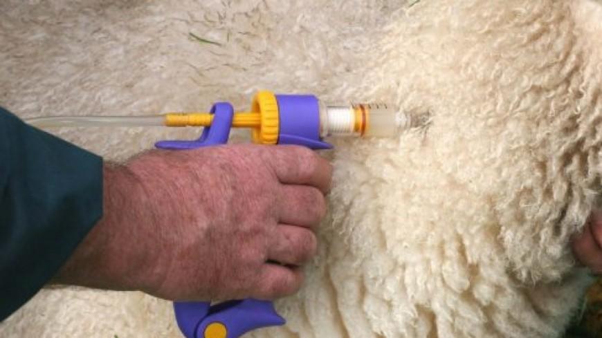 Hautes-Alpes : fièvre catarrhale ovine, Pascale Boyer demande plus de moyens au ministre de l'Agriculture