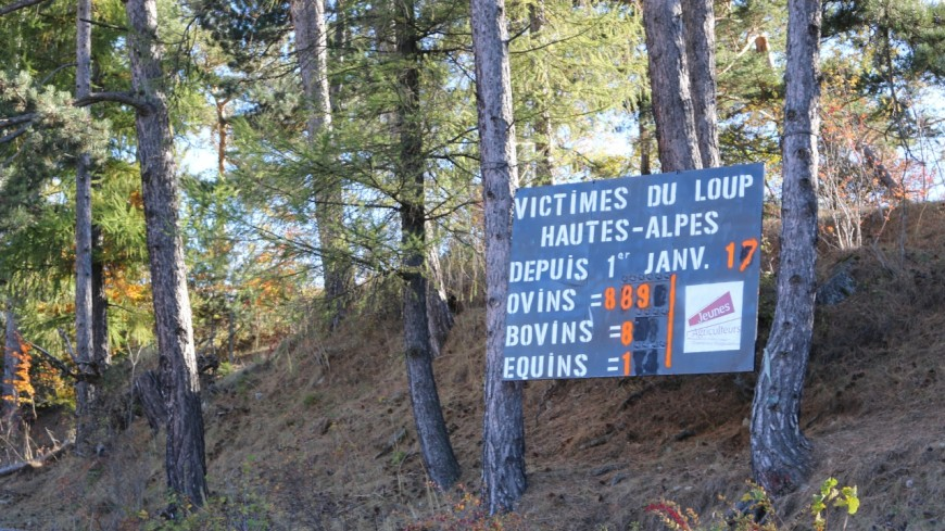 Hautes-Alpes : les JA du Champsaur Valgaudemar  excédés par les attaques du loup