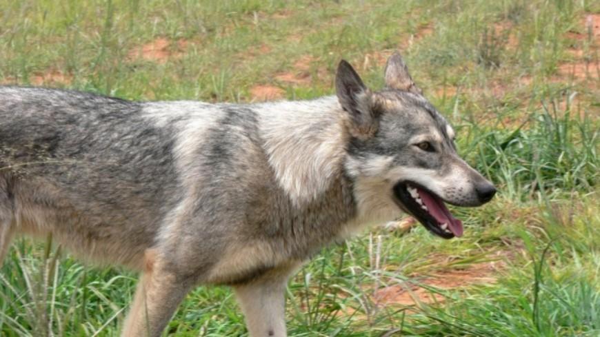 Alpes du Sud : la France compterait 430 loups avec cinq nouvelles zones dans nos départements