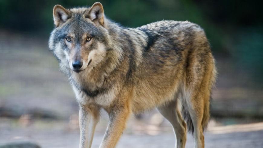 Hautes-Alpes : une meute de loups s'en serait-elle pris à un poney ?