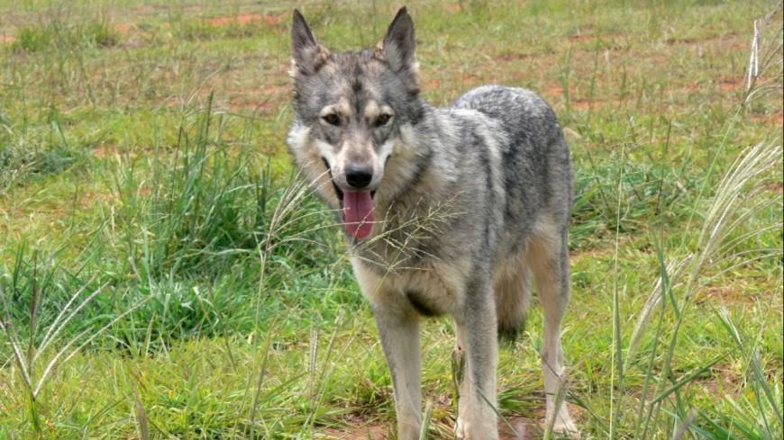 Hautes-Alpes : un nouveau loup prélevé dans le Dévoluy