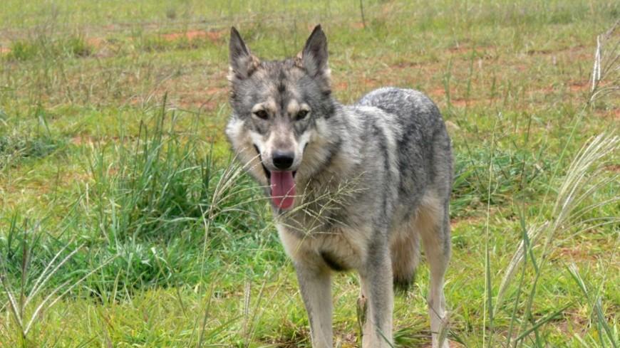 Alpes du Sud : loup, les tirs de prélèvement