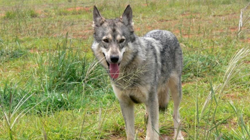Hautes-Alpes : un loup aurait été renversé sur Lardier et Valença