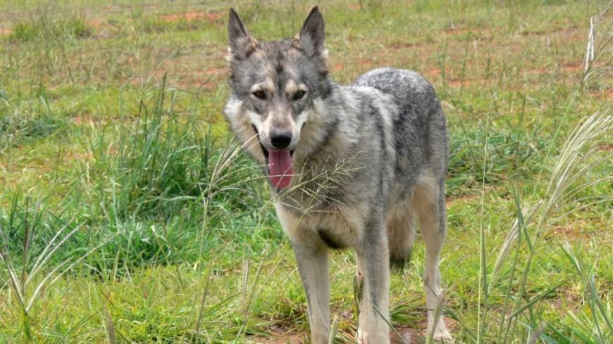 Le gouvernement autorise l'abattage de 40 loups