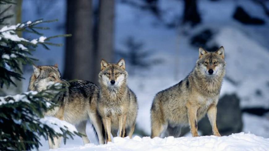 Alpes du Sud : plan loup 2018-2023, un plan qui ne contente personne