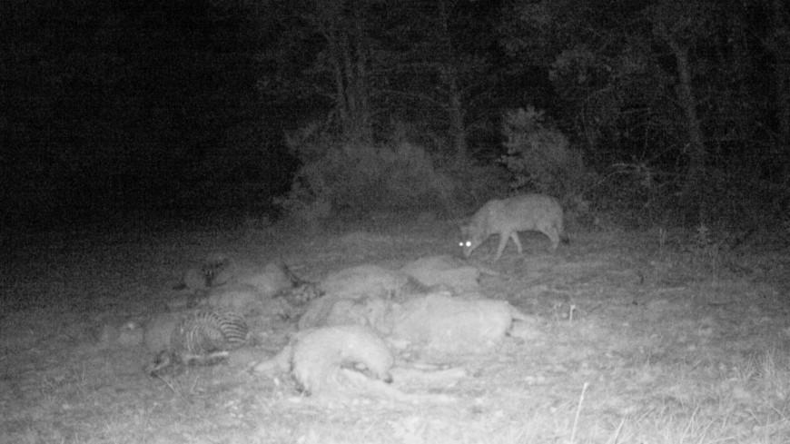 """Alpes du Sud : lunettes de tir à visée nocturne pour le loup, quand le Gouvernement dit """"oui"""", la loi dit """"non"""""""