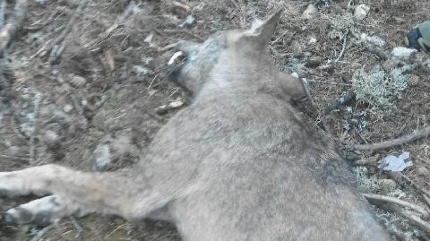 Hautes-Alpes : un loup abattu par un chasseur dans le Dévoluy