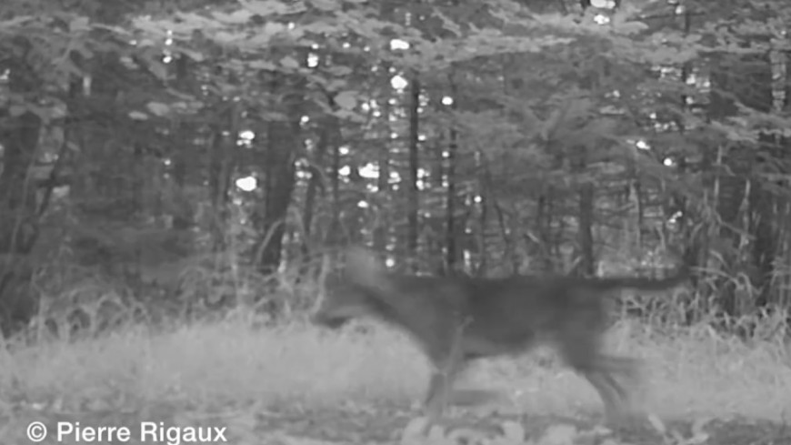 Alpes du Sud : un louveteau filmé par une caméra de surveillance