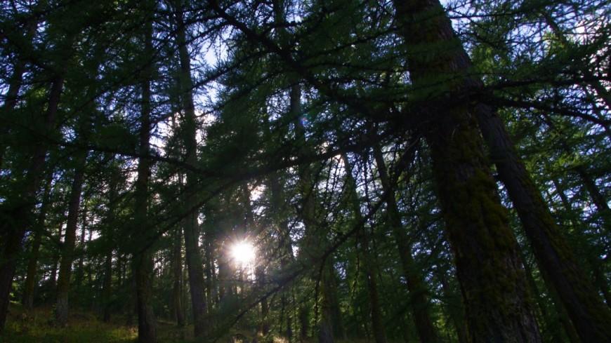Hautes-Alpes : 3.000 pins cembro plantés par la LPO cet automne