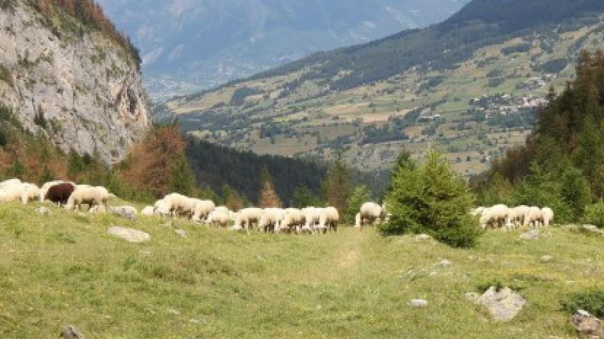 Hautes-Alpes : 300 personnes pour la journée en Alpage aux Orres