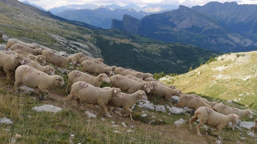 Alpes de Haute-Provence : les retards de versement de PAC, responsables des incendies ?