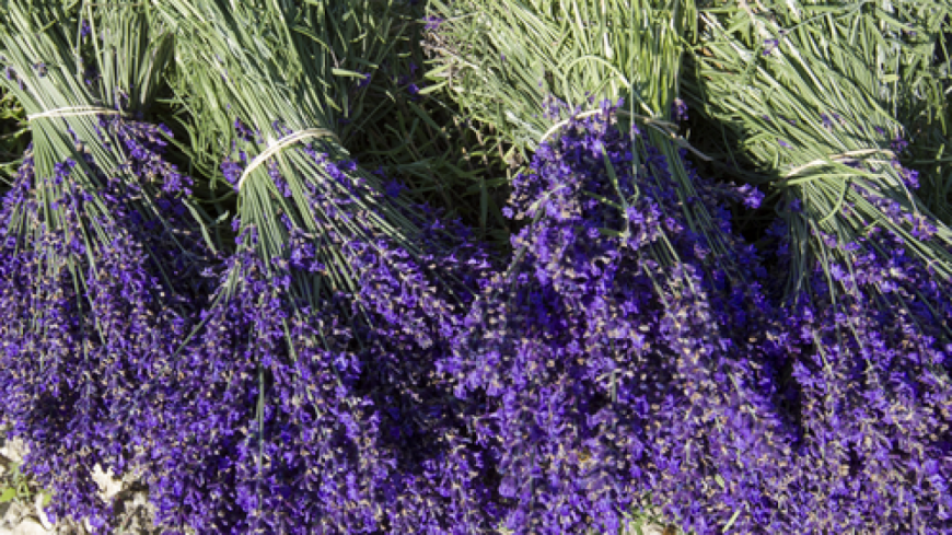 Alpes de Haute-Provence : une calamité pour pertes de fonds sur plantes à parfum aromatiques et médicinales reconnue