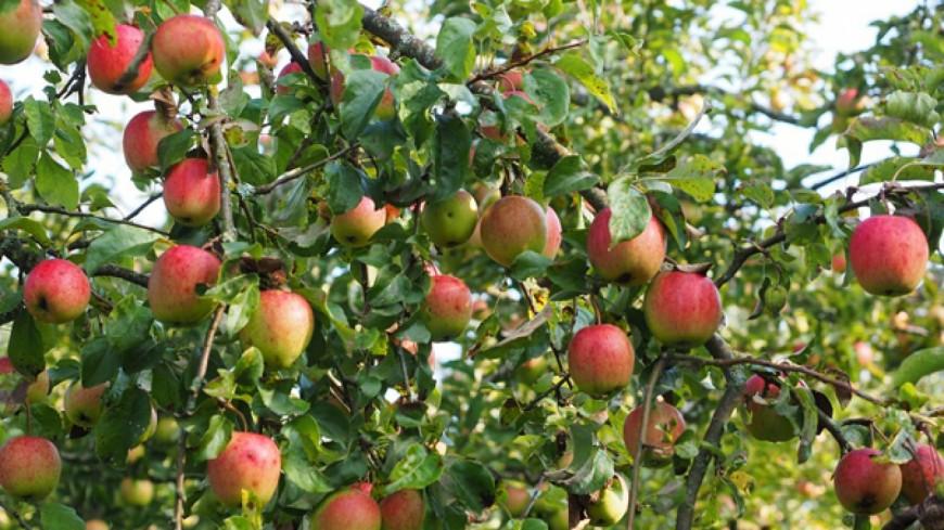 Alpes du Sud : 145.000 tonnes de pommes produites chaque année