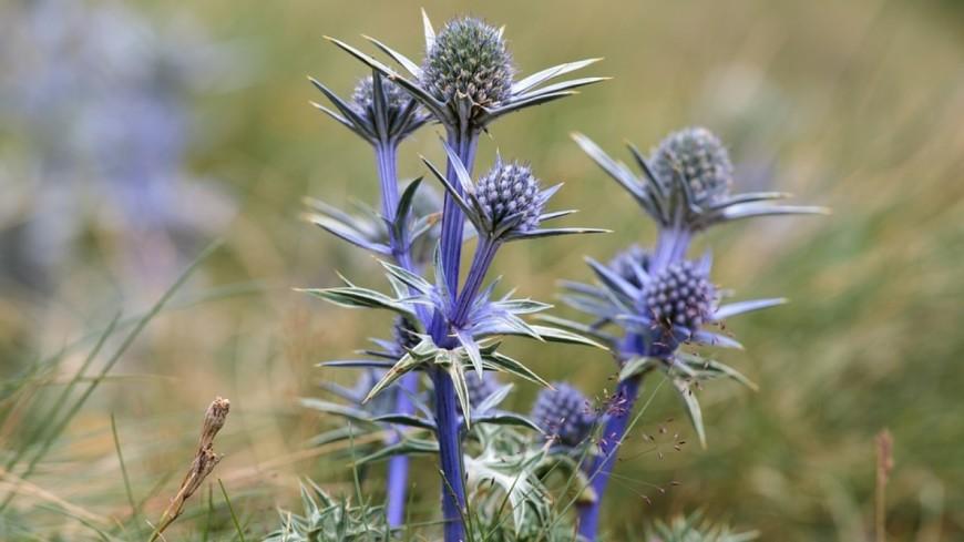 Hautes-Alpes : l'association Arnica Montana met en valeur la biodiversité floristique du pays des Écrins