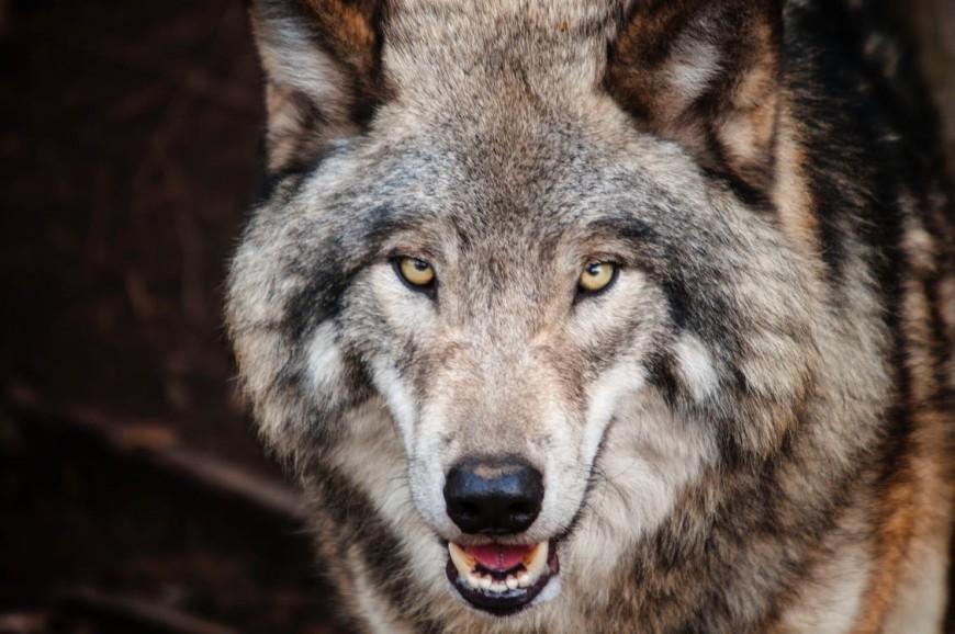 Alpes du Sud : loup, des attaques toujours régulières et un quota de tir quasiment atteint