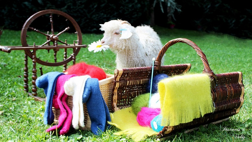 Hautes-Alpes : Découverte d'un élevage de chèvres angoras dans le Champsaur à St Laurent du Cros.
