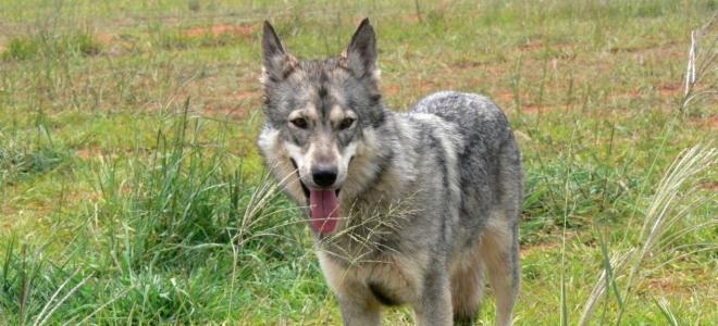 Hautes-Alpes : deux loups prélevés à Orcières