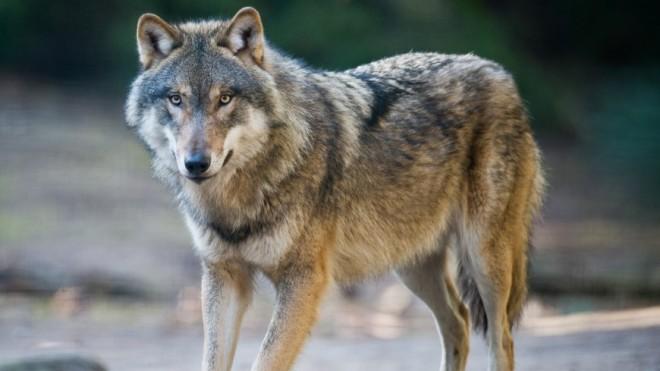 Hautes-Alpes : un loup prélevé à Cervières